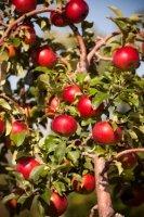 Johnny Appleseed Birthday September 26